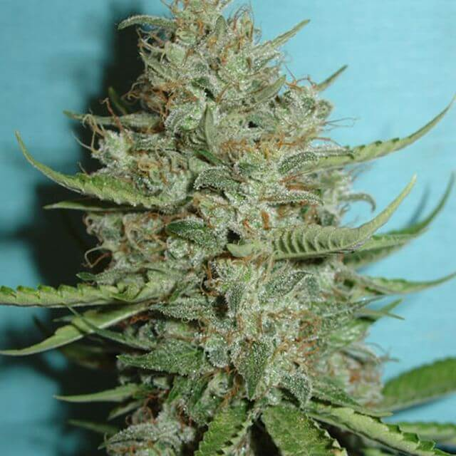 Buy Jordan of the Islands Seeds BC Big Bud REG