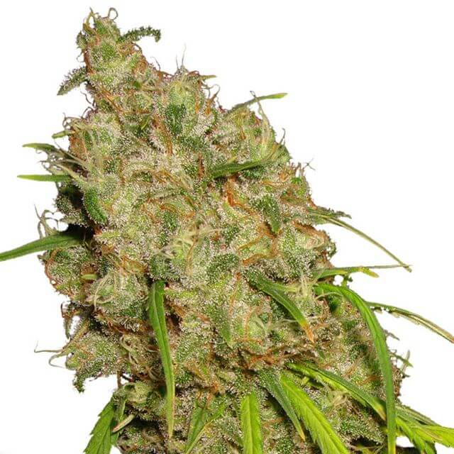 Buy Dutch Passion Seeds Desfran FEM