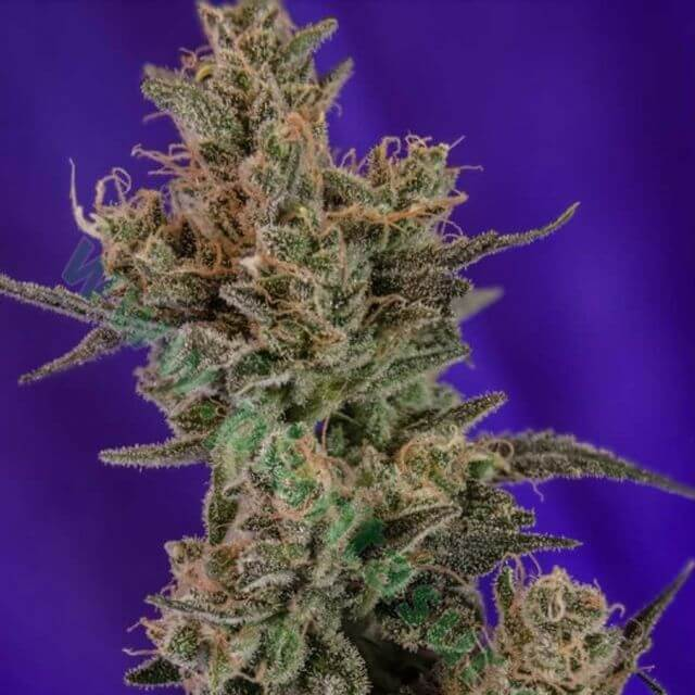 Buy TGA Subcool Genetics Seeds Professor Chaos  REG
