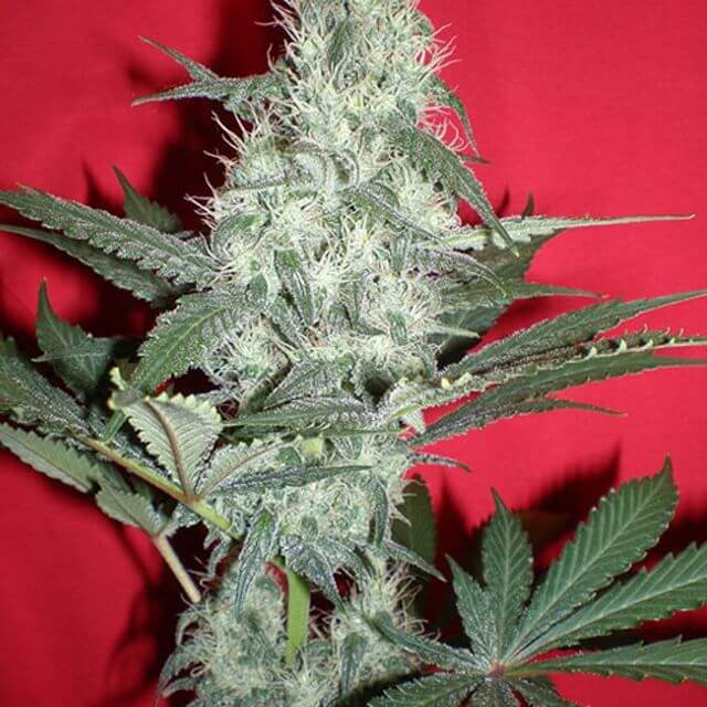 Buy Homegrown Fantaseeds  Gods Blue Cheese Seeds Gouda REG