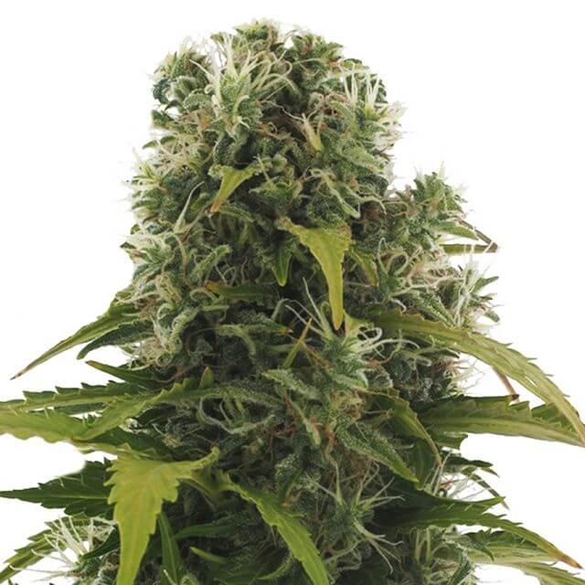 Buy Heavyweight Seeds High Density Auto FEM