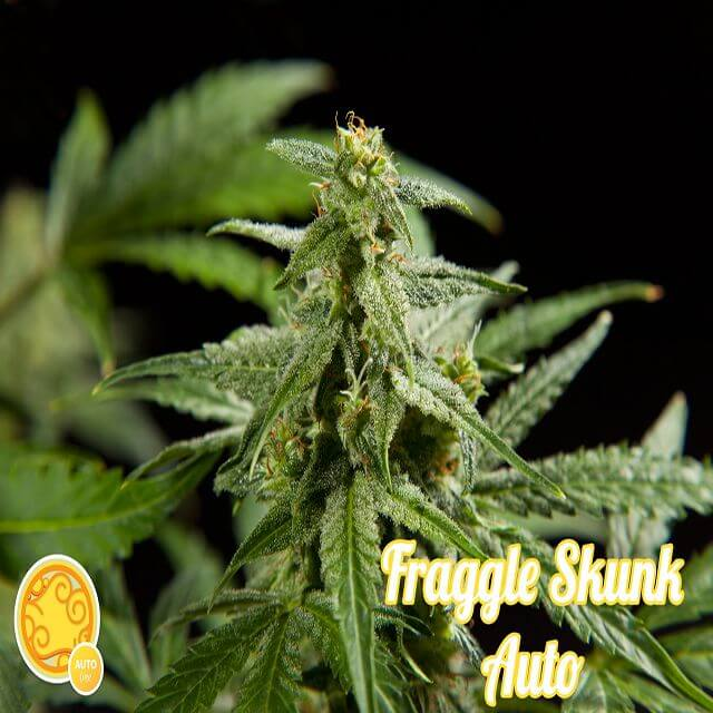 Buy Philosopher Seeds Fraggle Skunk Auto FEM