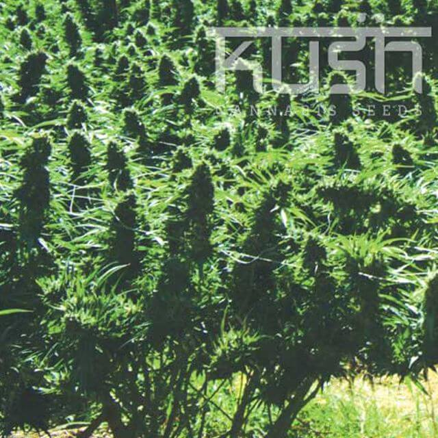 Buy Kush Cannabis Seeds Sweet Kush REG