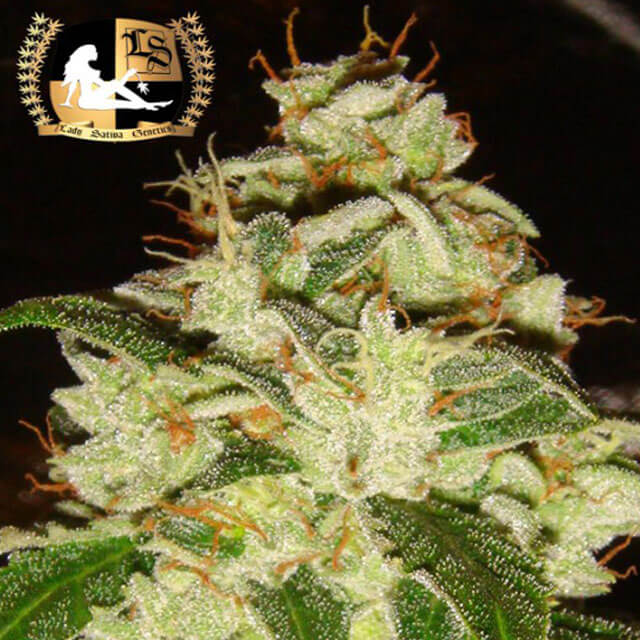 Buy Lady Sativa Genetics Seeds Knightsbridge OG REG