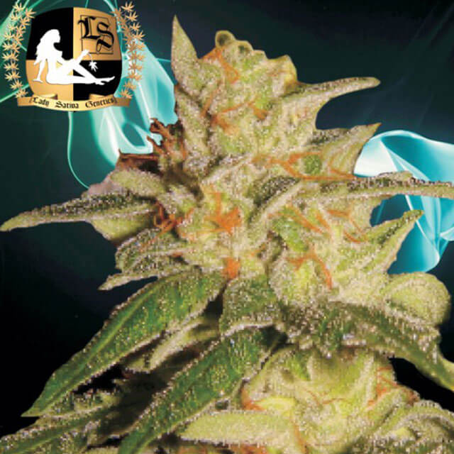 Buy Lady Sativa Genetics Seeds London City Diesel REG