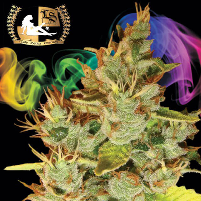 Buy Lady Sativa Genetics Seeds Orangensia REG
