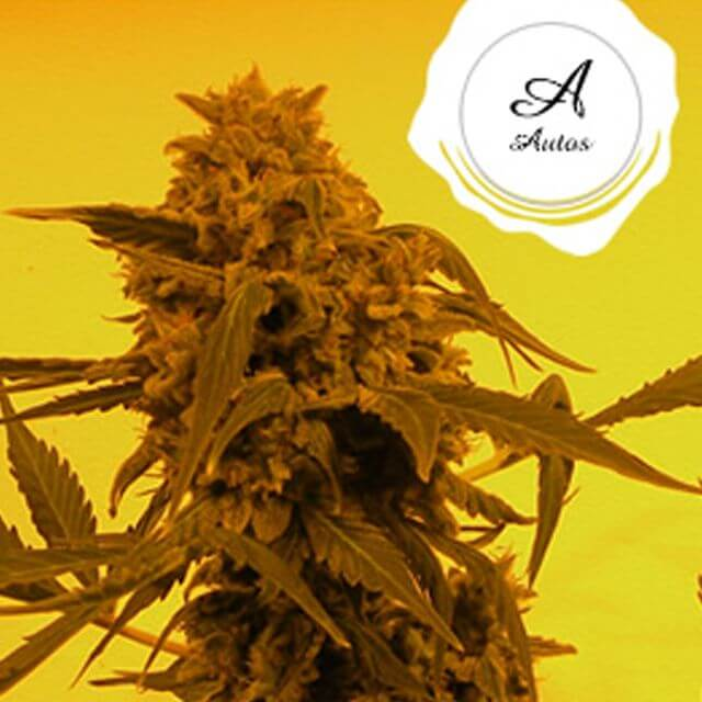 Buy French Touch Seeds Guillotine Auto FEM