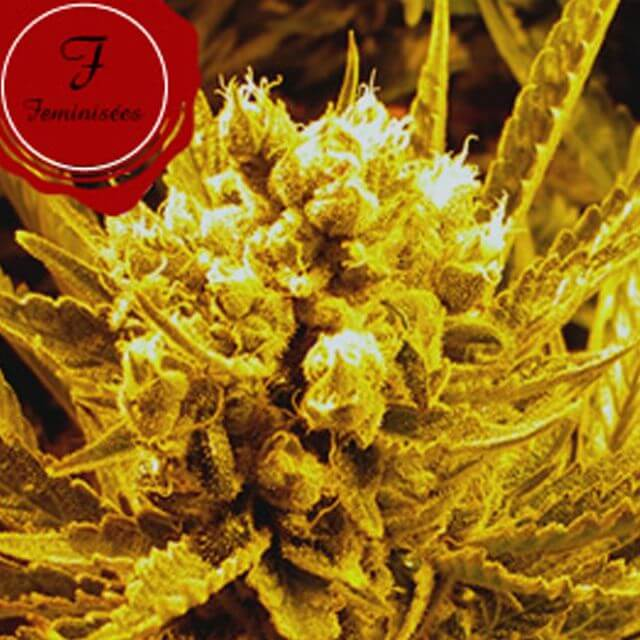Buy Homegrown Fantaseeds  Frencheese FEM