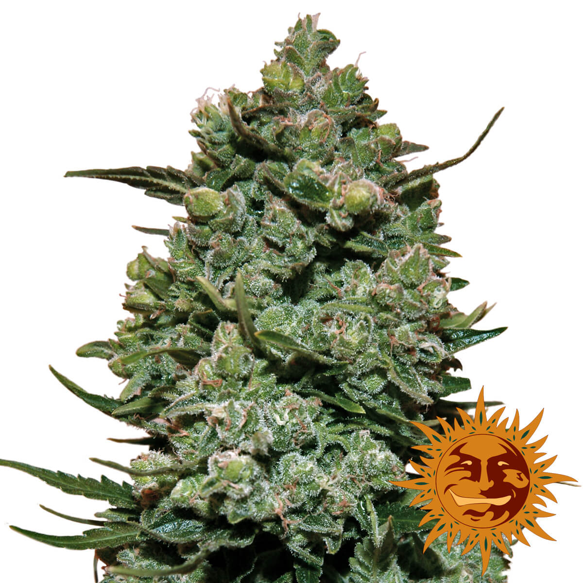 Buy Barneys Farm Seeds Cookies Kush FEM