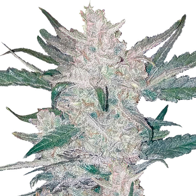 Buy Fast Buds Seeds Mexican Airlines Auto FEM