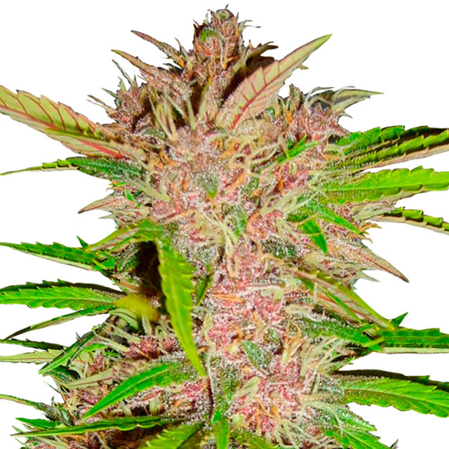 Buy Fast Buds Seeds FastBerry Auto FEM