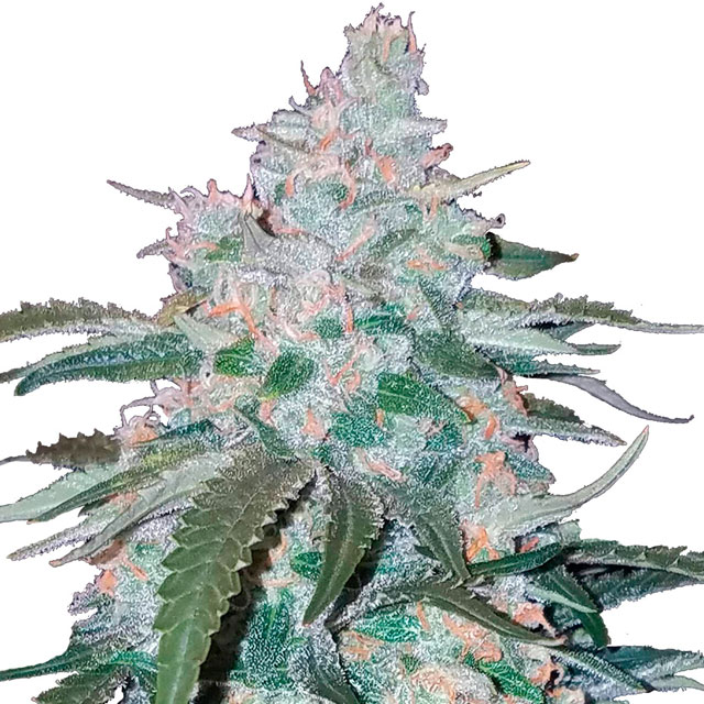 Buy Fast Buds Seeds Pineapple Express Auto FEM