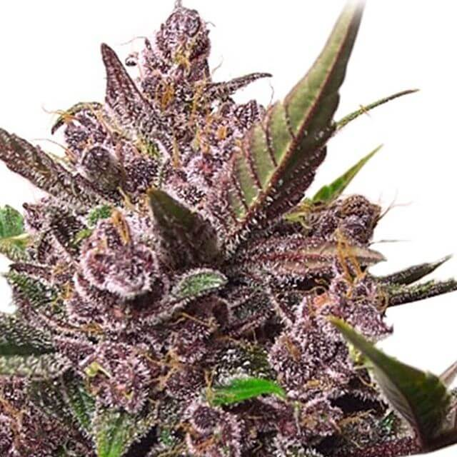 Buy Dutch Passion Seeds Auto Blackberry Kush FEM