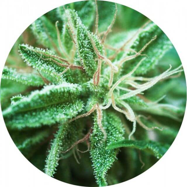 Buy Top Tao Seeds Sativa Samadhi REG