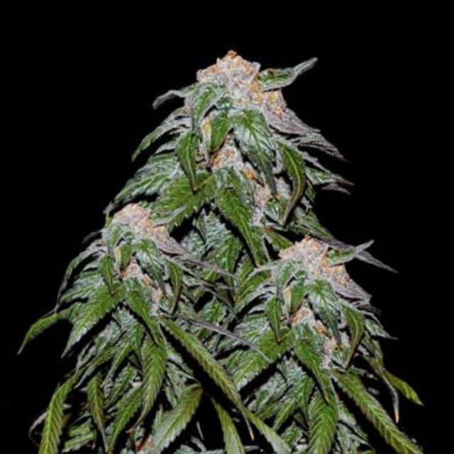 Buy VIP Seeds Medical VIP FEM