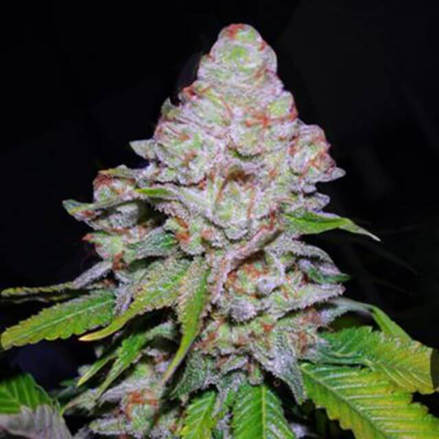 Buy VIP Seeds White Berry FEM