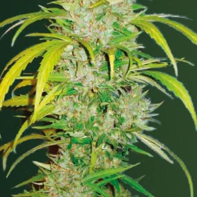 Buy Victory Seeds Auto Big Angel FEM