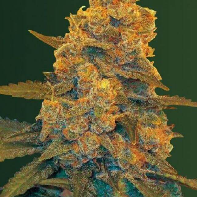 Buy Victory Seeds Auto Blow Dream FEM