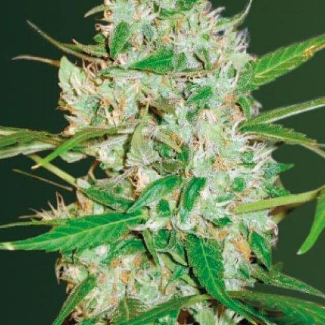 Buy Victory Seeds Auto Red Russian XXL FEM