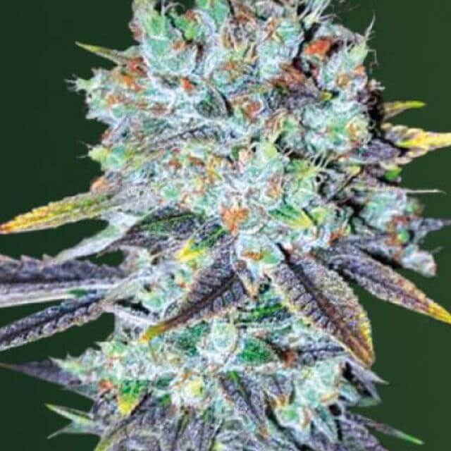 Buy Victory Seeds Original Berry FEM