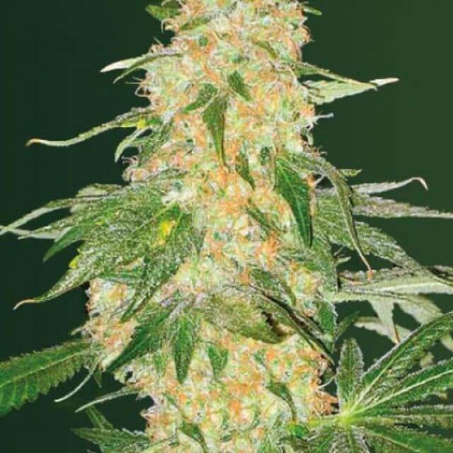 Buy Victory Seeds Super Extra Skunk FEM