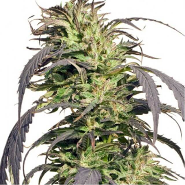 Buy Spliff Seeds Gold Rush Outdoor FEM