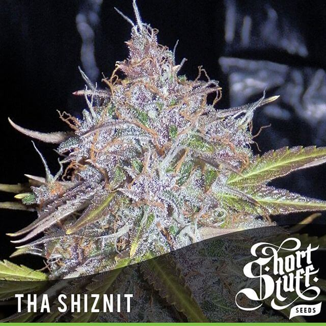 Buy Short Stuff Autoflowering Seeds Tha Shiznit FEM