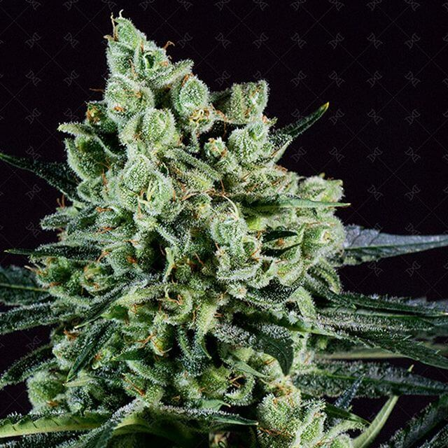 Buy Genofarm Seeds Best Mango FEM