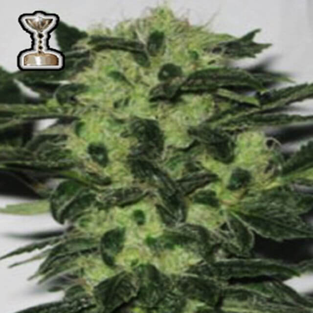 Buy Apothecary Genetics Seeds Headband 707 REG