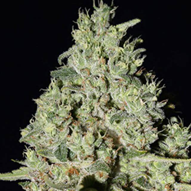 Buy Super Strains Seeds DFA Auto FEM