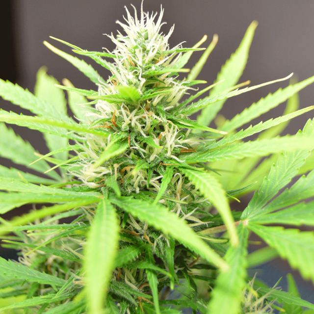 Buy Cream of the Crop Seeds Robocrop FEM