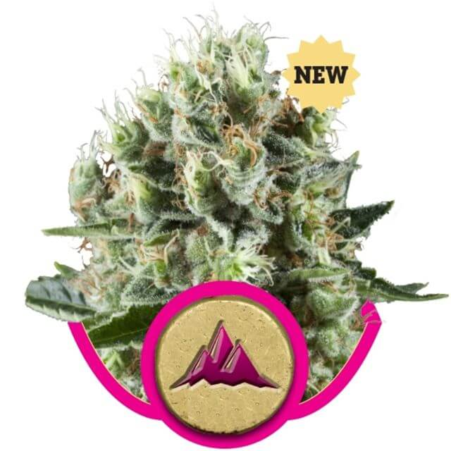 Buy Royal Queen Seeds Critical Kush FEM
