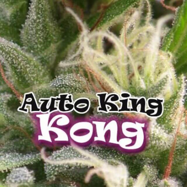 Buy Dr Underground Seeds Auto King Kong FEM