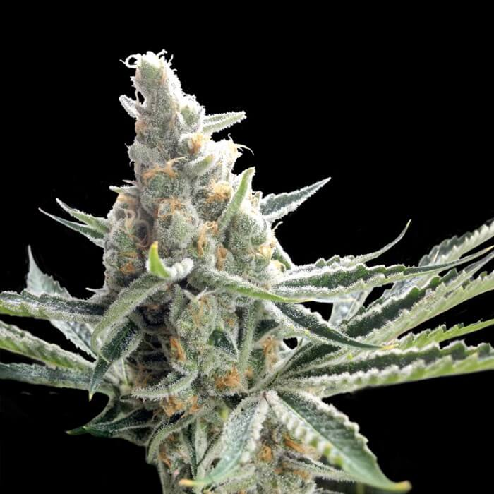 Buy DNA Crockett Family Farms Seeds Crockett's Tangie REG