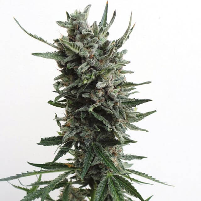 Buy TH Seeds Auto Critical Hog  FEM