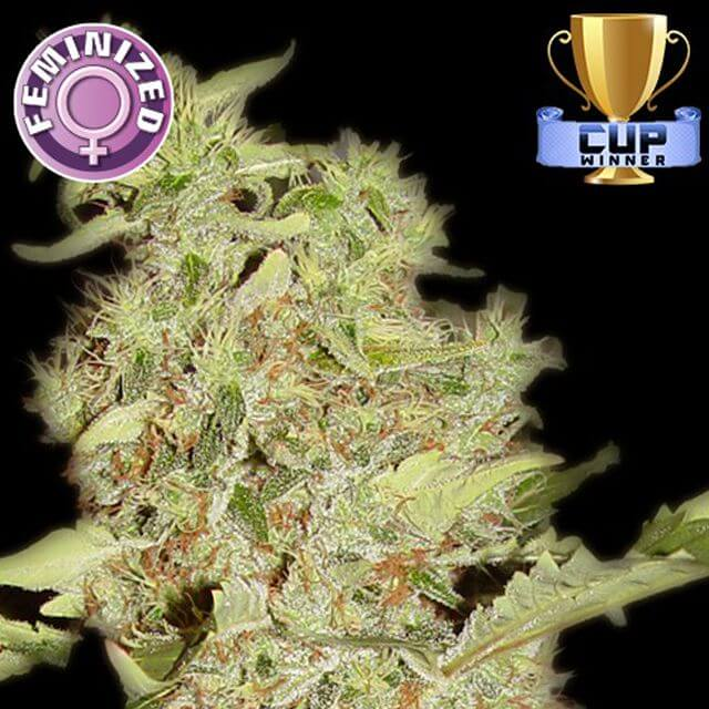Buy Kera Seeds Bubblegum FEM