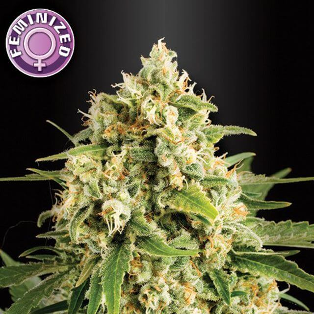 Buy Kera Seeds Medical Skunk FEM