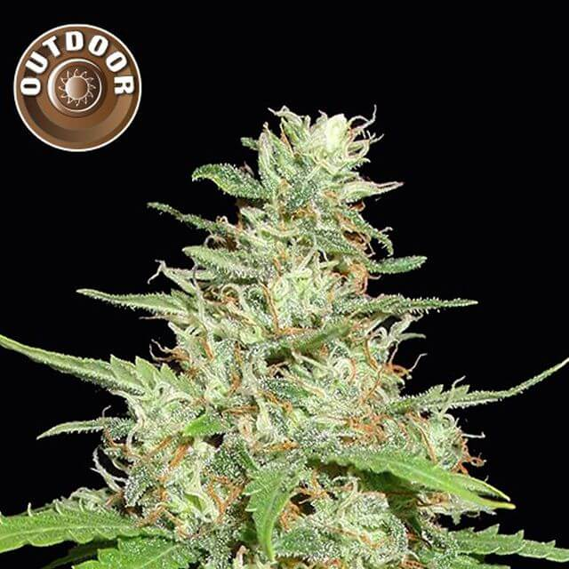 Buy Kera Seeds Outdoor Hurricane FEM