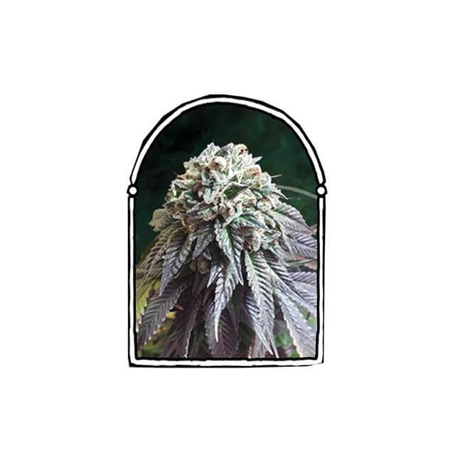 Buy The Kush Brothers Seeds The Darkside FEM