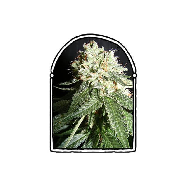 Buy The Kush Brothers Seeds OG Cheese FEM