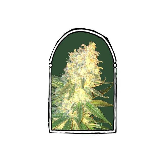 Buy The Kush Brothers Seeds Mass Kush FEM