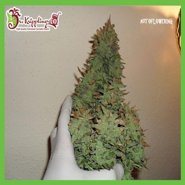 Buy Dr Krippling Seeds Smokin Gun Auto FEM
