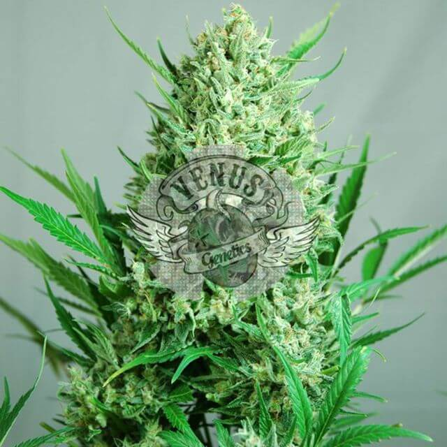 Buy Venus Genetics Seeds Aktombe FEM