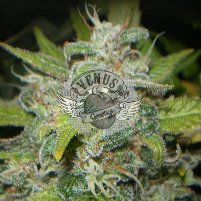 Buy Venus Genetics Seeds Kritical Max FEM
