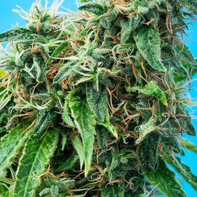 Buy Tropical Seeds Mazarmatic Auto FEM
