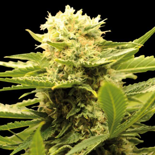 Buy Eva Female Seeds Black Dream FEM