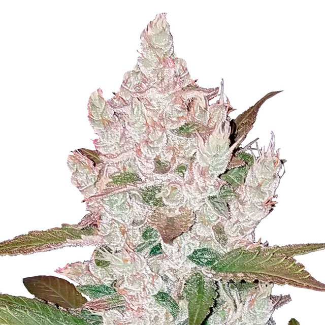 Buy Fast Buds Seeds Girl Scout Cookies Auto FEM