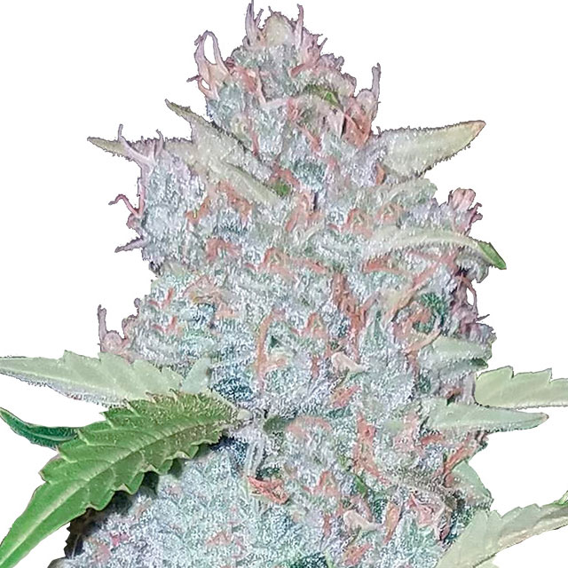 Buy Fast Buds Seeds Six Shooter Auto FEM