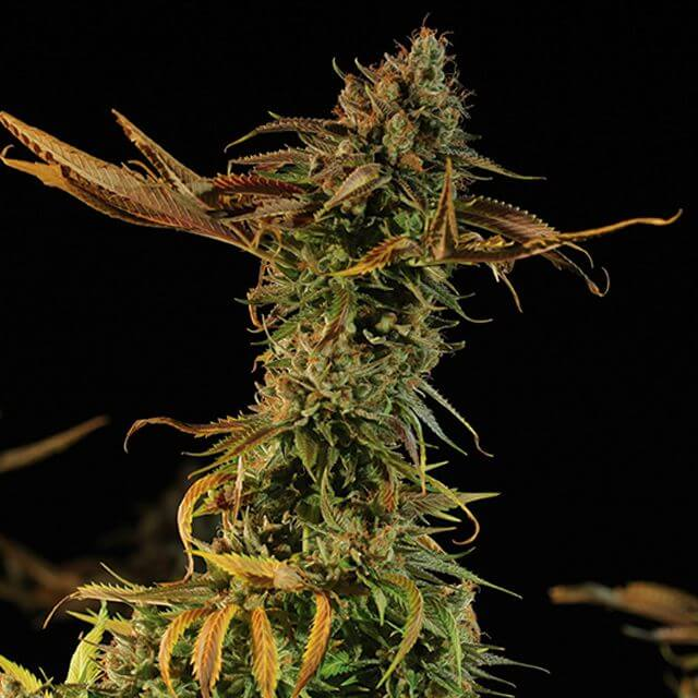 Buy Humboldt Seed Organization Blueberry Headband FEM