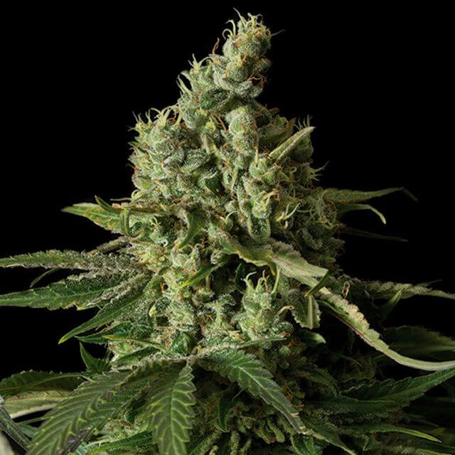 Buy Dinafem Seeds Moby Dick CBD FEM